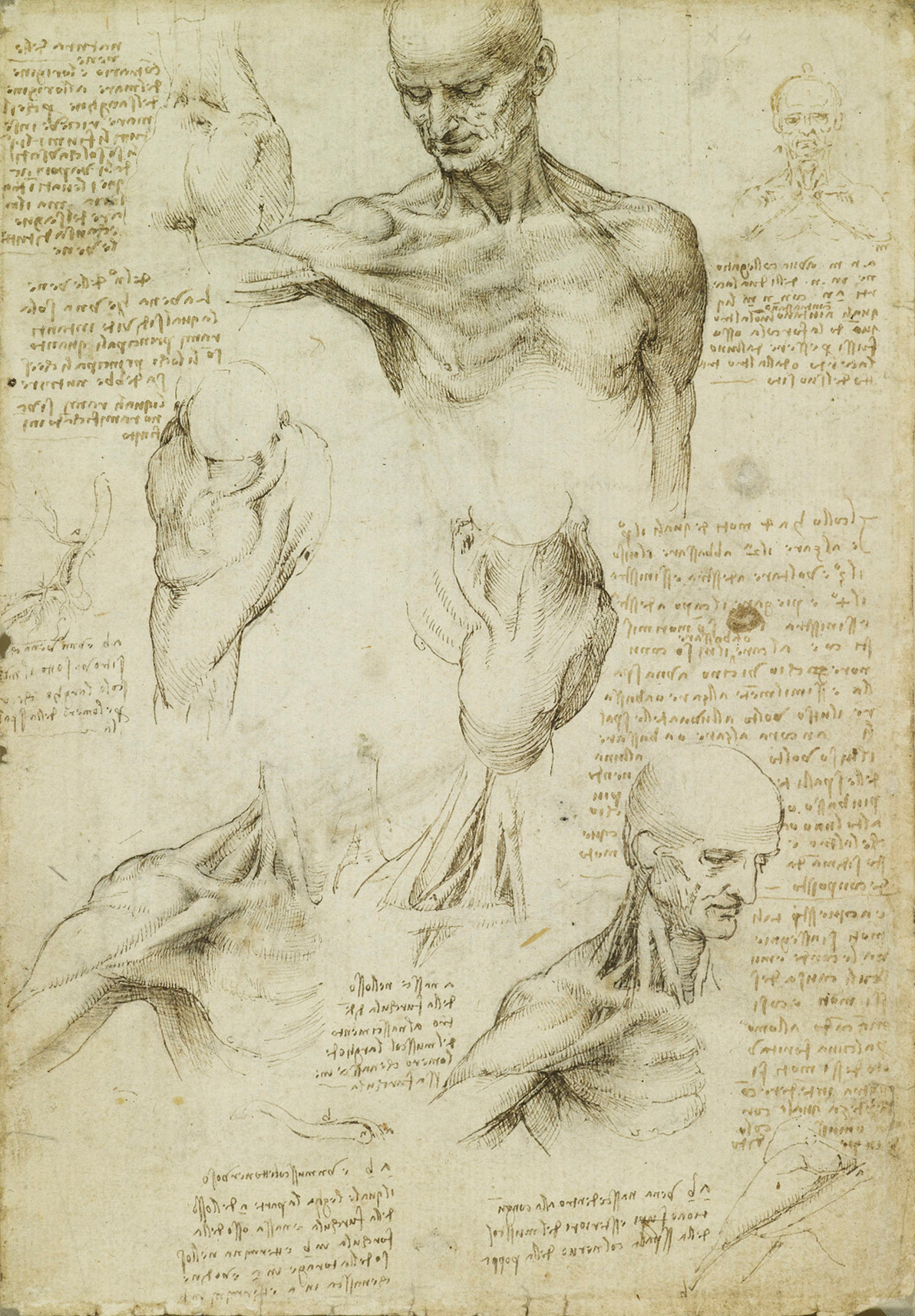 Leonardo da Vinci - The superficial anatomy of the shoulder and neck ...