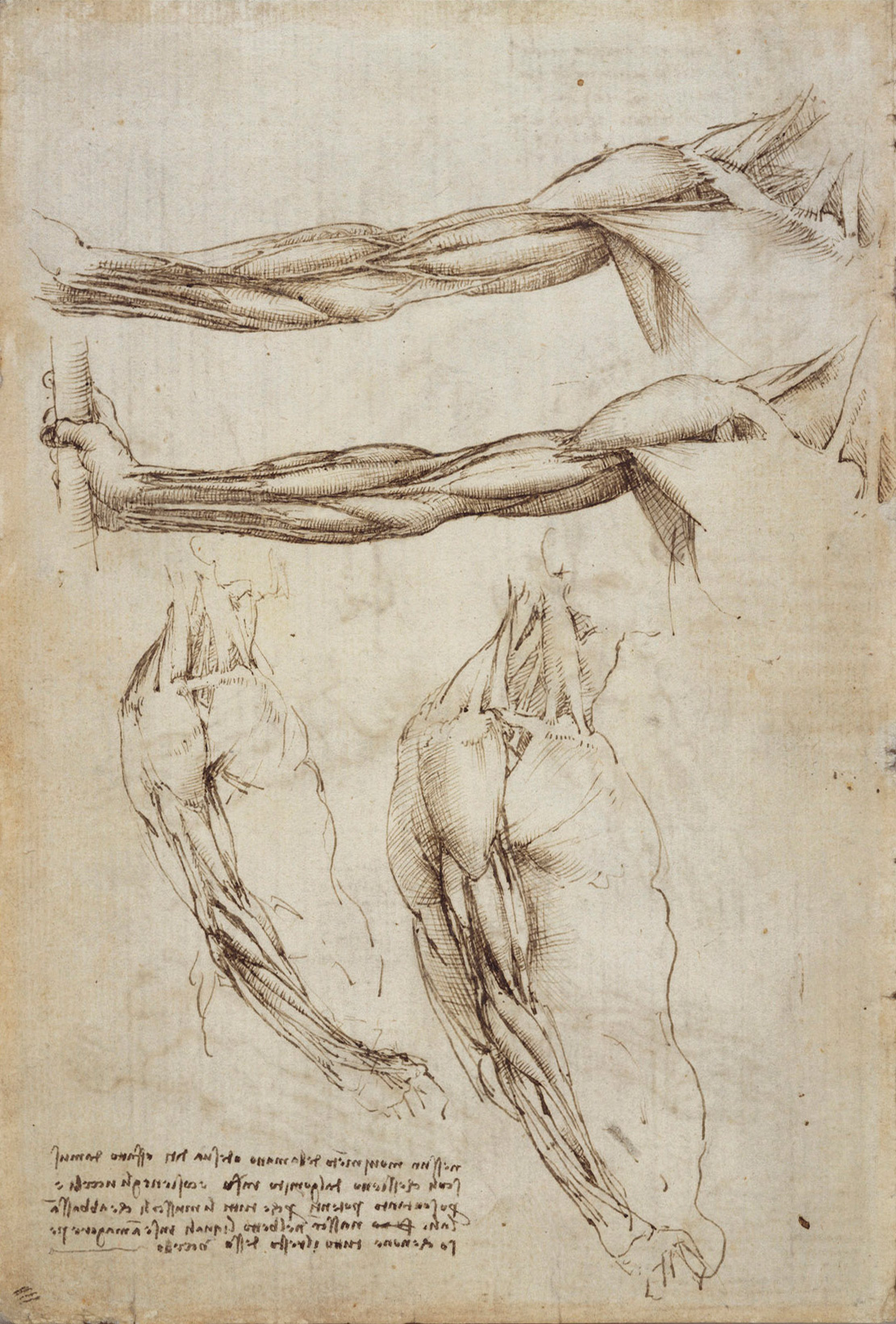 The veins and muscles of the arm, 1511 — Leonardo da Vinci,