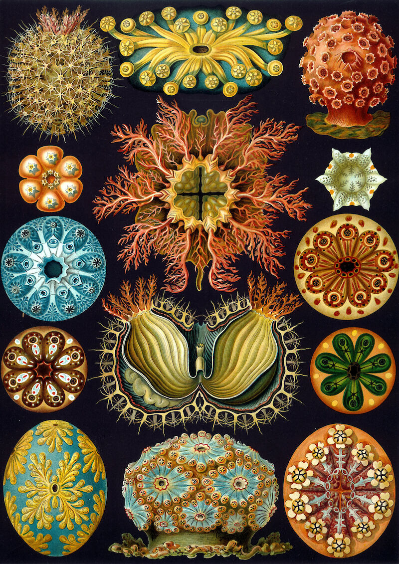 Art Forms in Nature, Plate 85: Ascidiacea