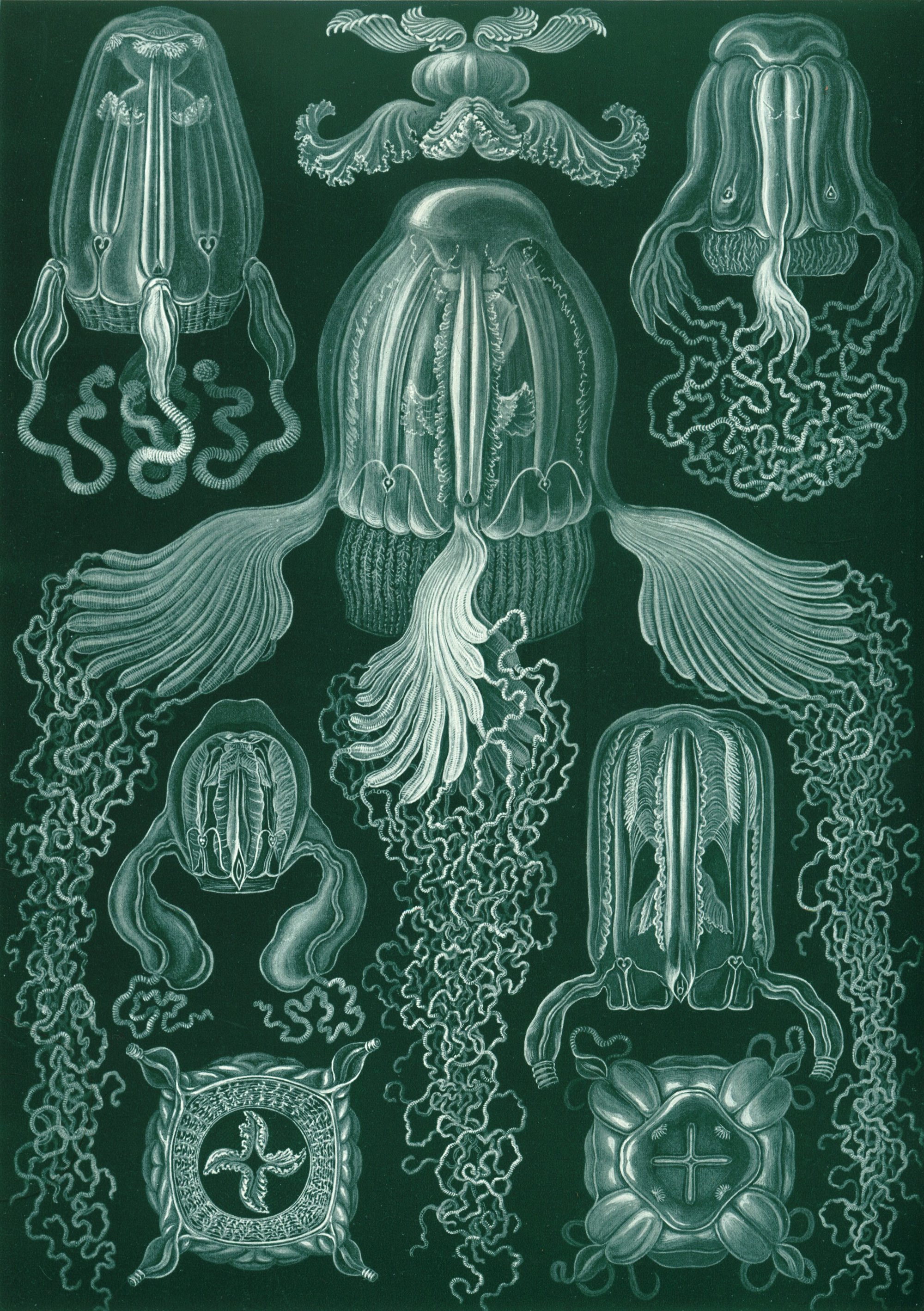 Art Forms in Nature, Plate 78: Cubomedusae, 1904 — Ernst Haeckel,