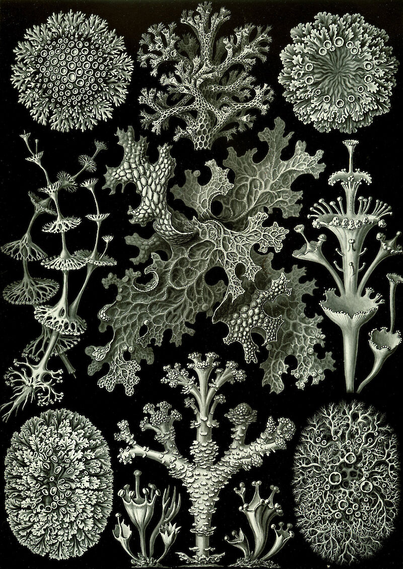 Art Forms in Nature, Plate 83: Lichenes