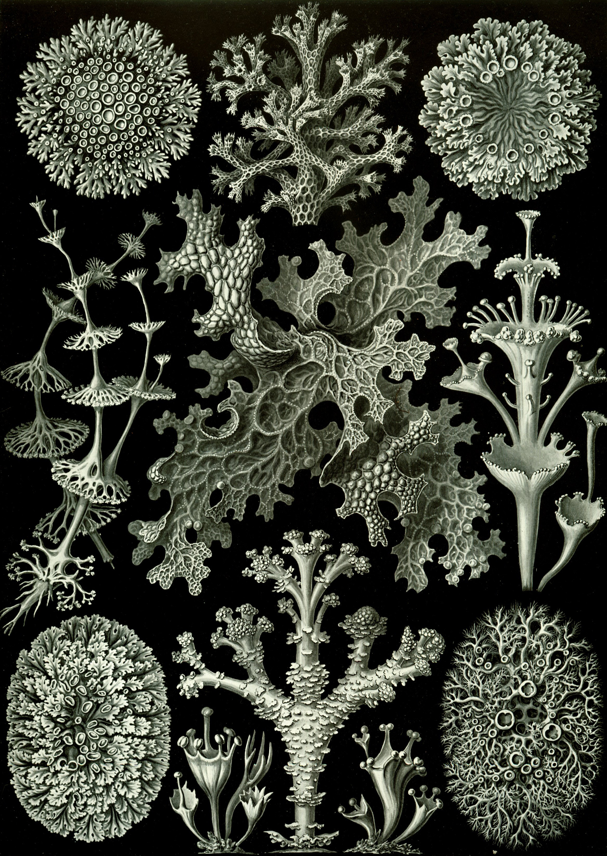 Art Forms in Nature, Plate 83: Lichenes, 1904 — Ernst Haeckel,