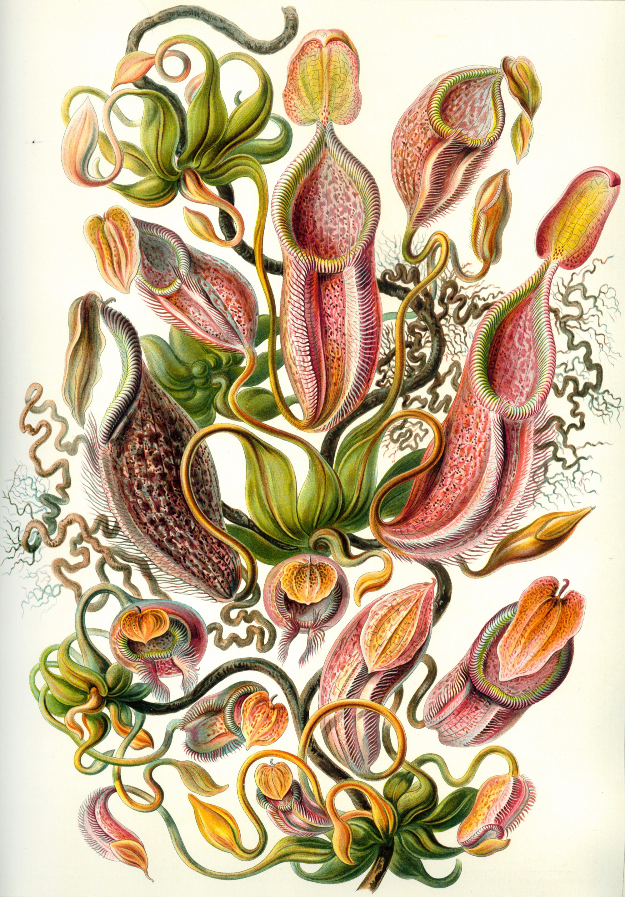 Art Forms in Nature, Plate 62: Nepenthaceae, 1904 — Ernst Haeckel,
