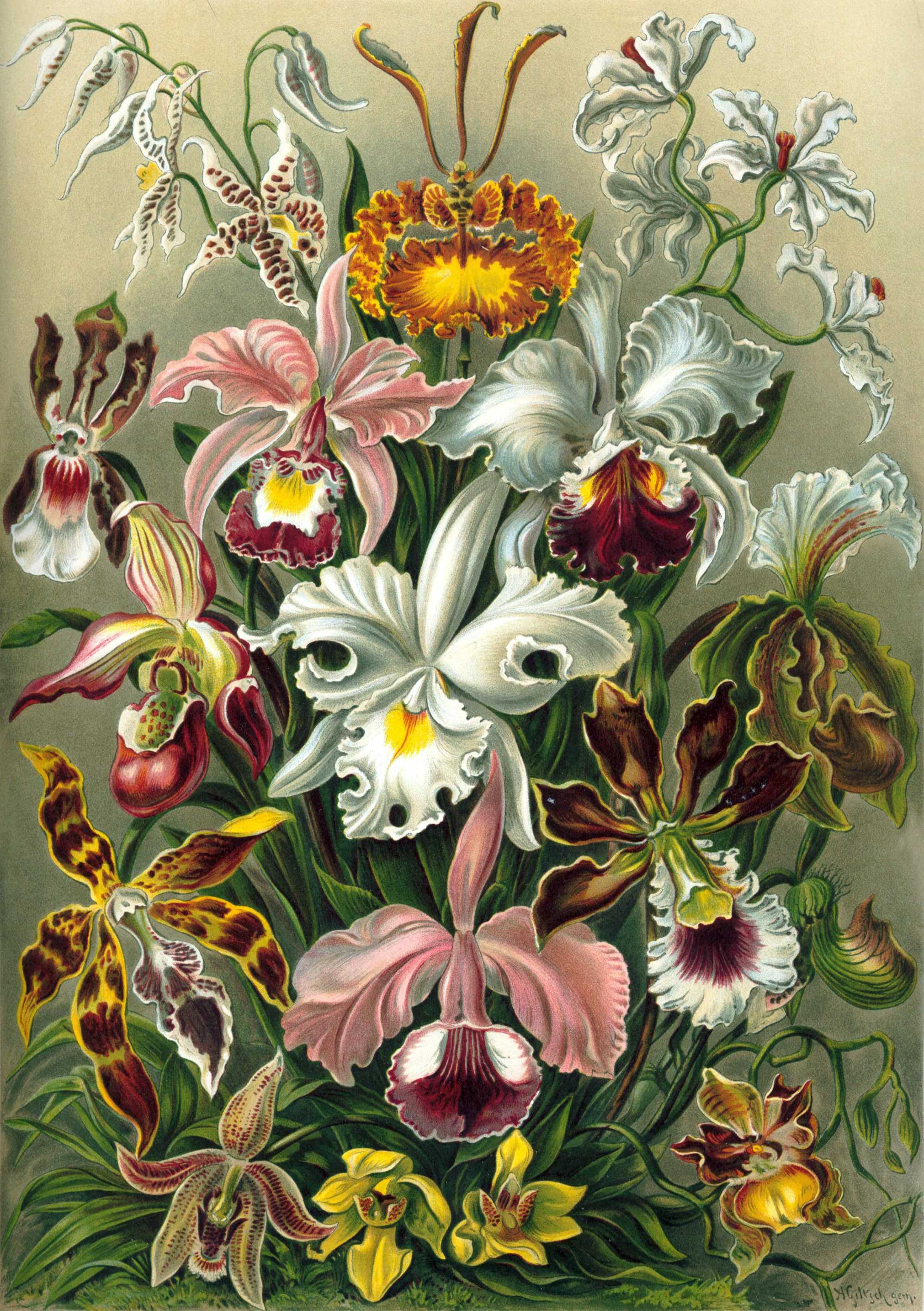 Art Forms in Nature, Plate 74: Orchidae, 1904 — Ernst Haeckel