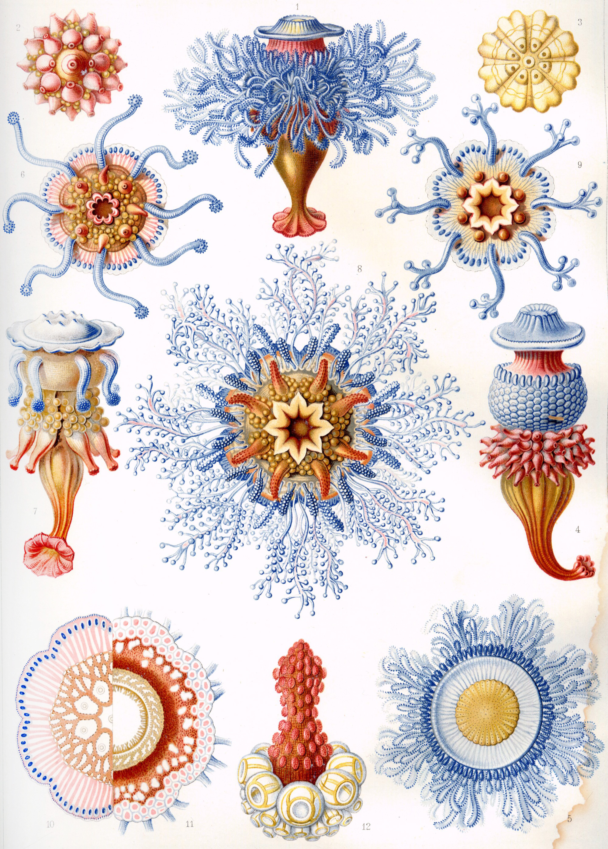 Art Forms in Nature, Plate 17: Siphonophorae, 1904 — Ernst Haeckel