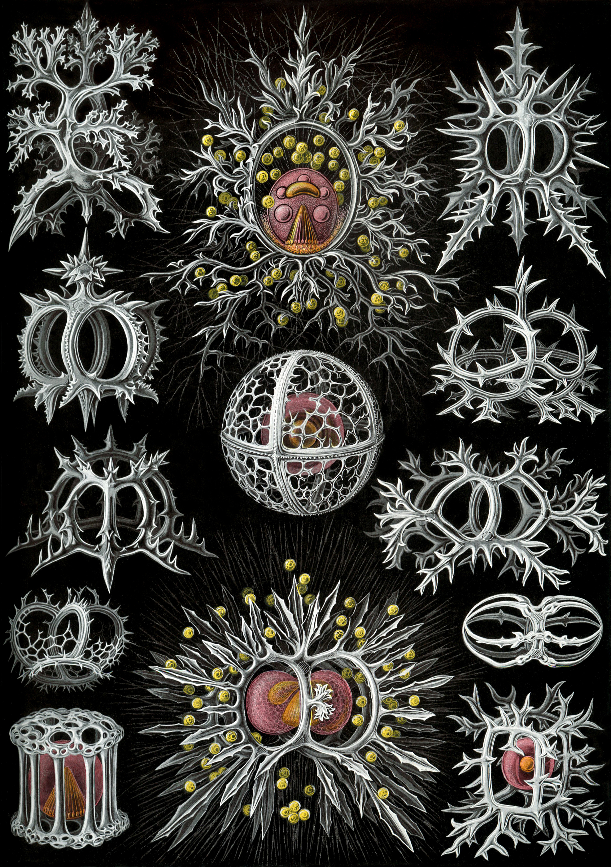 Art Forms in Nature, Plate 71: Stephoidea, 1904 — Ernst Haeckel,