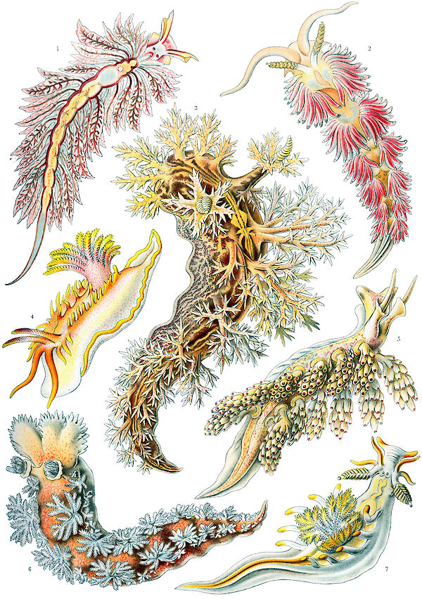 Art Forms in Nature, Plate 43: Nudibranchia
