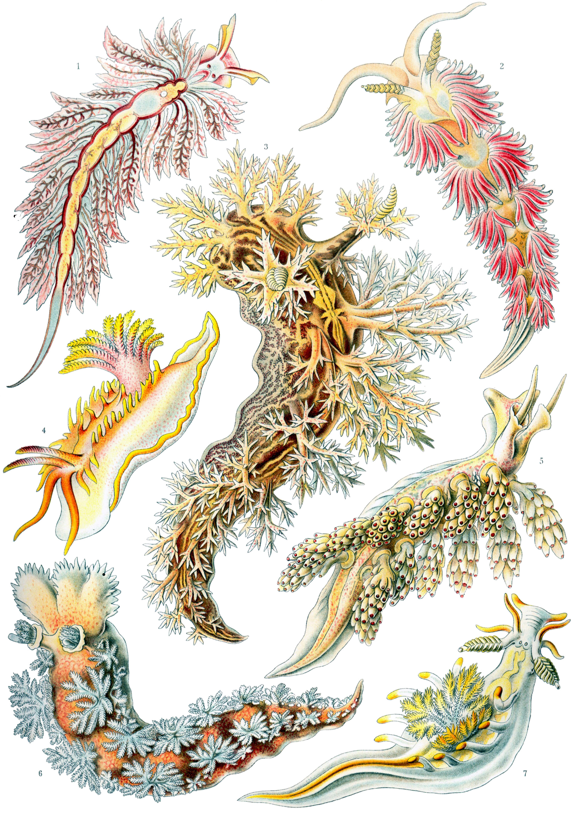 Art Forms in Nature, Plate 43: Nudibranchia, 1904 — Ernst Haeckel,
