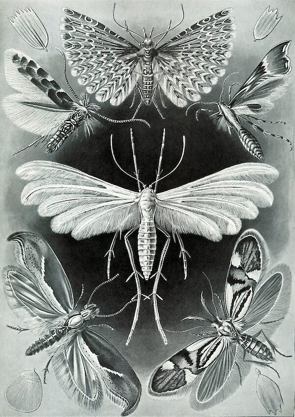 Art Forms in Nature, Plate 58: Tineida