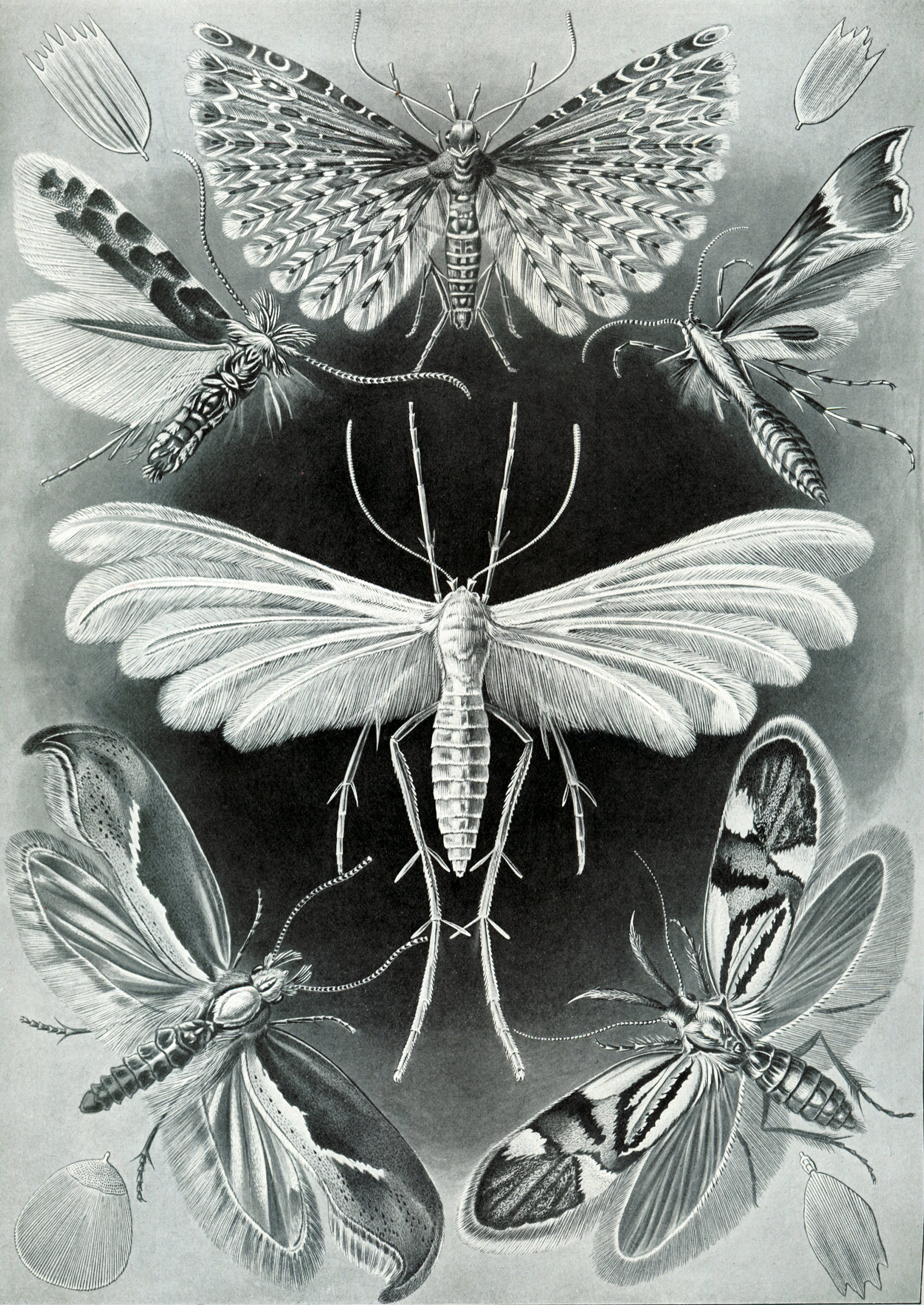Art Forms in Nature, Plate 58: Tineida, 1904 — Ernst Haeckel,