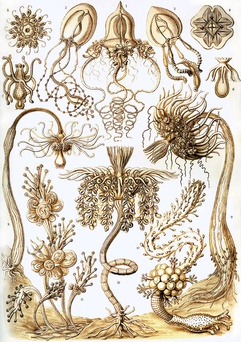 Art Forms in Nature, Plate 6: Tubulariae