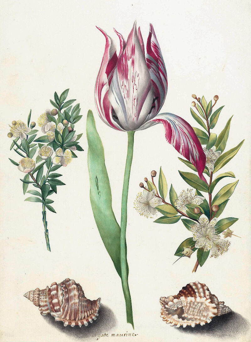 Tulip, two Branches of Myrtle and two Shells