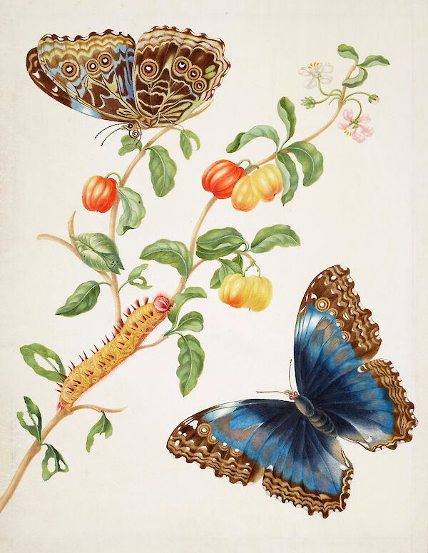 Branch of West Indian Cherry with Achilles Morpho Butterfly