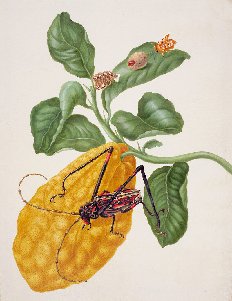 Citron with Monkey Slug Moth and Harlequin Beetle