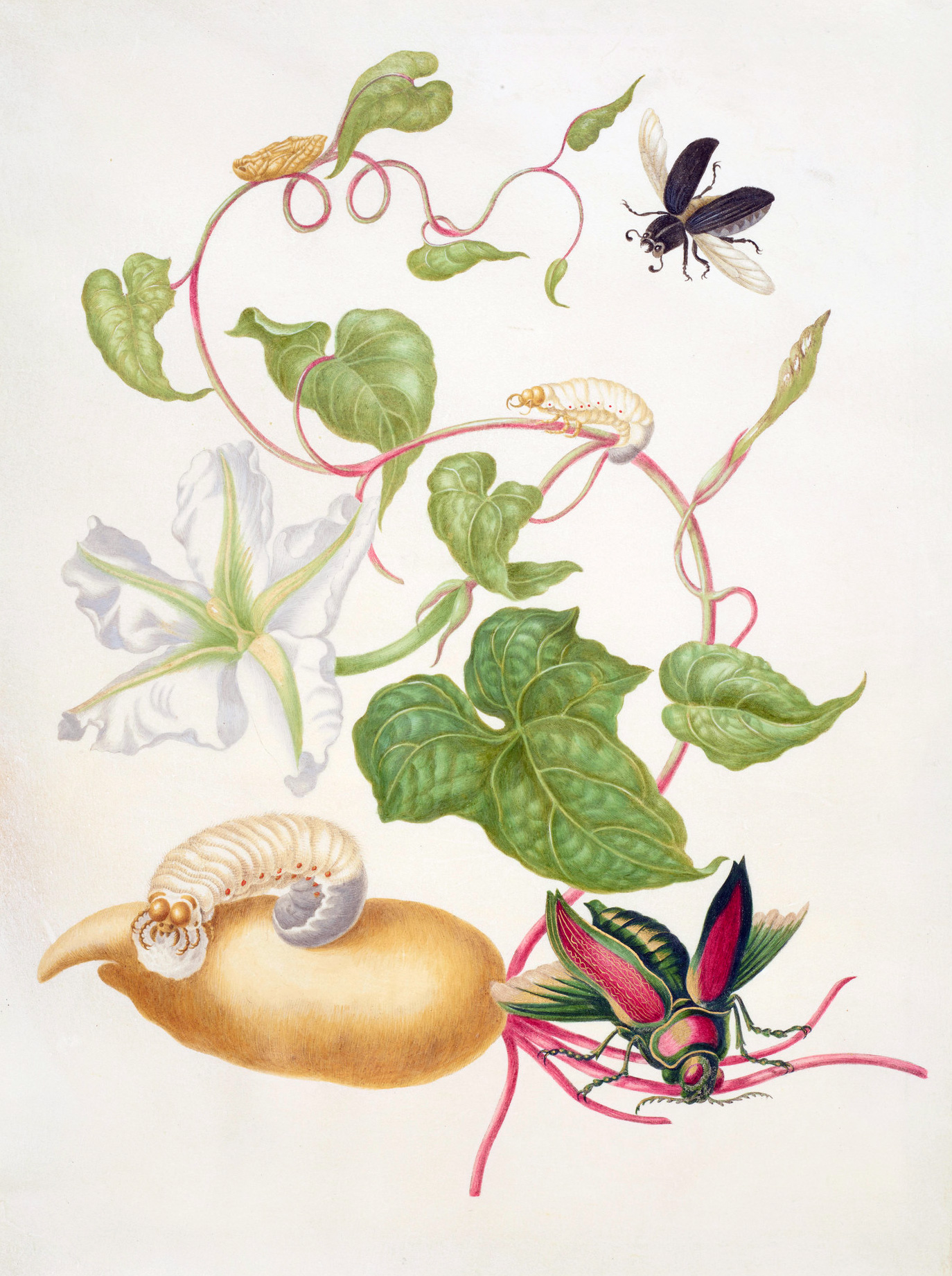 Tropical White Morning Glory with two beetles, 1703 — Maria Sibylla Merian,