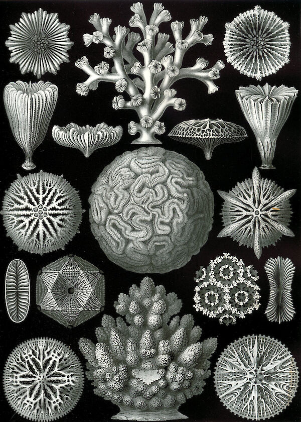 Art Forms in Nature, Plate 58: Hexacoralla