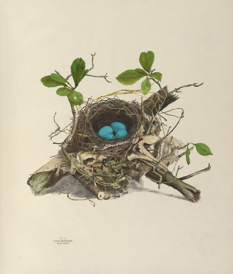 Plate 2. Wood Thrush, 1886, Genevieve & Virginia Jones