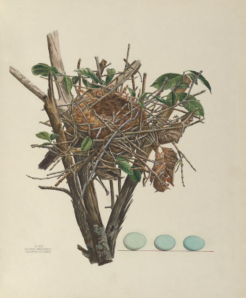 Plate 14. Yellow Billed Cuckoo, 1886, Genevieve & Virginia Jones