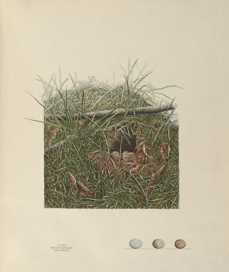 Plate 30. Song Sparrow, 1886, Genevieve & Virginia Jones